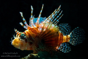 Zebra Lionfish-Lembeh by Richard Goluch
